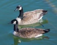 Een paar van het Canadese Ganzen zwemmen Royalty-vrije Stock Afbeeldingen