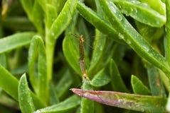 Een paar van het Koppelen van Langpootmuggen Stock Foto's
