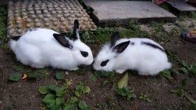 Een paar van Hotot-konijntje royalty-vrije stock afbeeldingen