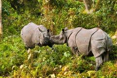 Het vechten van de rinoceros Stock Afbeeldingen