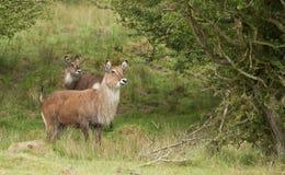 Een paar van Roan Antelope Stock Fotografie