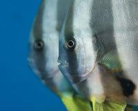 Een paar van tallfin batfish Stock Afbeelding