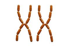 Een paar vrouwelijke chromosomen ingebed van de rode tabletten Geneesmiddelen in genetica Erfelijkheid van ouders tot kinderen wo stock foto