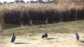 Een paar Wilde eendeenden lat Anaplatyrhynchos gaan langs het meer stock footage