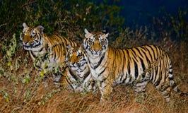 Een paar wilde tijgers van Bengalen in de wildernis in de predawnschemering India BANDHAVGARH NATIONAAL PARK Madhya Pradesh royalty-vrije stock fotografie