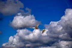 Een paar witte zwanen die in de blauwe hemel tegen de achtergrond van mooie witte wolken vliegen royalty-vrije stock afbeeldingen