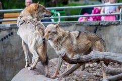 Een paar wolven Stock Foto's