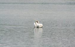 Een paar zwanen en een hart van liefde Stock Afbeelding