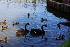 Een paar zwarte zwanen stock foto's