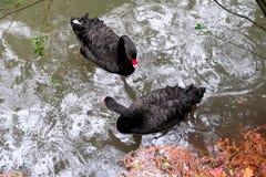 Een paar zwarte zwanen die op water drijven royalty-vrije stock afbeeldingen