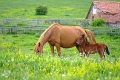 Een paard bekijkt een veulen in een weide 3 royalty-vrije stock afbeeldingen