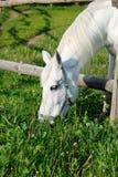 Een paard dat gras in een pen eet royalty-vrije stock fotografie
