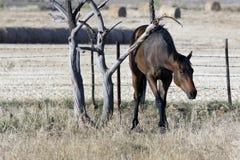 Een paard dat zijn rug krast Stock Foto's