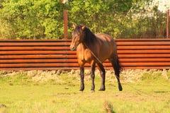 Een paard die in de werf weiden Stock Foto