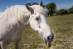 Een paard die uit zijn tong plakken Stock Foto's