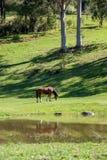 Een paard die weelderig groen weiland naast een vijver eten Stock Foto's