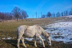 Een paard die zich op een de winterweide bevinden die gras eten Royalty-vrije Stock Afbeeldingen
