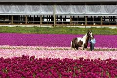 Een paard en een trainer met tulpen Stock Fotografie