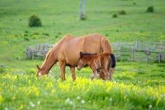 Een paard en een veulen weiden in een weide 2 royalty-vrije stock afbeelding