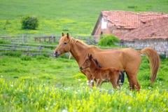 Een paard en een veulen weiden in een weide 4 stock foto's