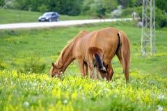 Een paard en een veulen weiden in een weide 1 royalty-vrije stock foto