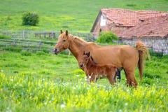Een paard en een veulen weiden in een weide 5 royalty-vrije stock afbeeldingen