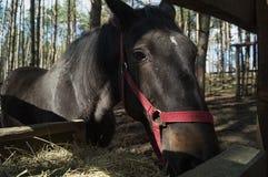 Een paard, het kauwen hooi Stock Afbeeldingen