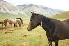 Een Paard in Kyrgyzstan Royalty-vrije Stock Foto