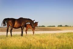 Een paard met een veulen Stock Fotografie