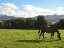 Een paard op het gras Killarney, Ierland Stock Foto's