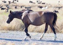 Een paard in een weiland in de woestijn Stock Fotografie