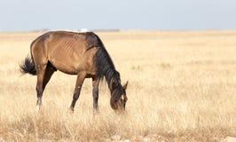 Een paard in een weiland in de woestijn Stock Afbeelding