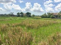 Een padieveld in een dorp in Bali, Indonesië wordt verborgen dat royalty-vrije stock foto