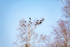 Een pak daws in een boom met blauwe hemel stock foto's