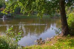 Een pak die eenden langs een meer dichtbij een blokhuis met een zwaan in het park drijven Mezhygirya de Oekraïne royalty-vrije stock foto