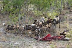Een pak wilde honden op een karkas stock afbeeldingen