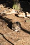 Een pak wilde wolven slaapt in de zon Één Wolf in de voorgrond royalty-vrije stock foto