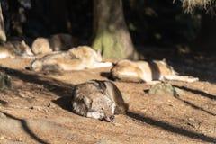 Een pak wilde wolven slaapt in de zon Één Wolf in de voorgrond royalty-vrije stock foto's