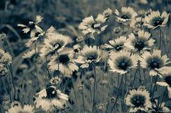 Een palet van zwart-wit schaduwen in de geopenbaarde kleuren van Gelenium Bloemen van stedelijke de lentegazons royalty-vrije stock fotografie