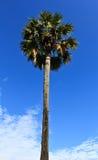 Een palm van de Suiker en de blauwe hemelachtergrond Stock Afbeelding