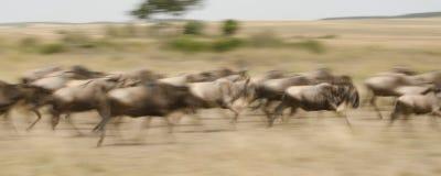 Een panning beeld van het meest wildebeest doornemen de savanne stock afbeeldingen