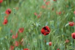 Een Papaver bloeit gebied Oekraïense bloemen royalty-vrije stock afbeeldingen