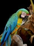 Een papegaai die klauw likt Royalty-vrije Stock Foto