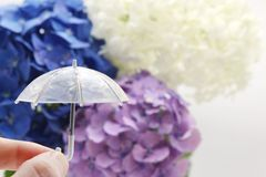 Een paraplu met een hydrangea hortensiaachtergrond die ter beschikking wordt gehouden Regenachtig seizoenconcept stock foto