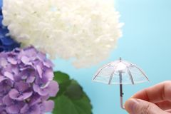 Een paraplu met een hydrangea hortensiaachtergrond die ter beschikking wordt gehouden Regenachtig seizoenconcept stock afbeelding