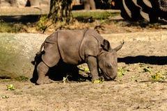 Een pasgeboren babyrinoceros bij de dierentuin stock foto's