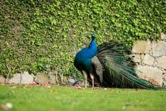 Een pauw die door zijn land lopen die zijn veren tonen en zijn hals verdraaien Royalty-vrije Stock Afbeeldingen