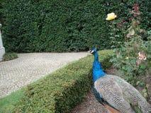 Een pauw die in een Europese tuin wandelen stock fotografie