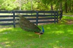 Een pauw die zijn staart uitspreiden bij een landbouwbedrijf in ocala Royalty-vrije Stock Afbeeldingen