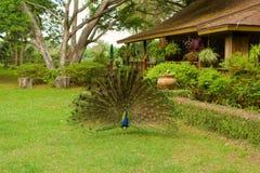 Een pauw die zijn staart uitspreiden bij een landbouwbedrijf in ocala Stock Foto's